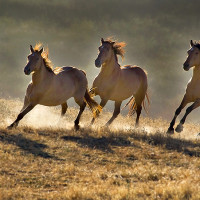 wild horses wallpapers 15